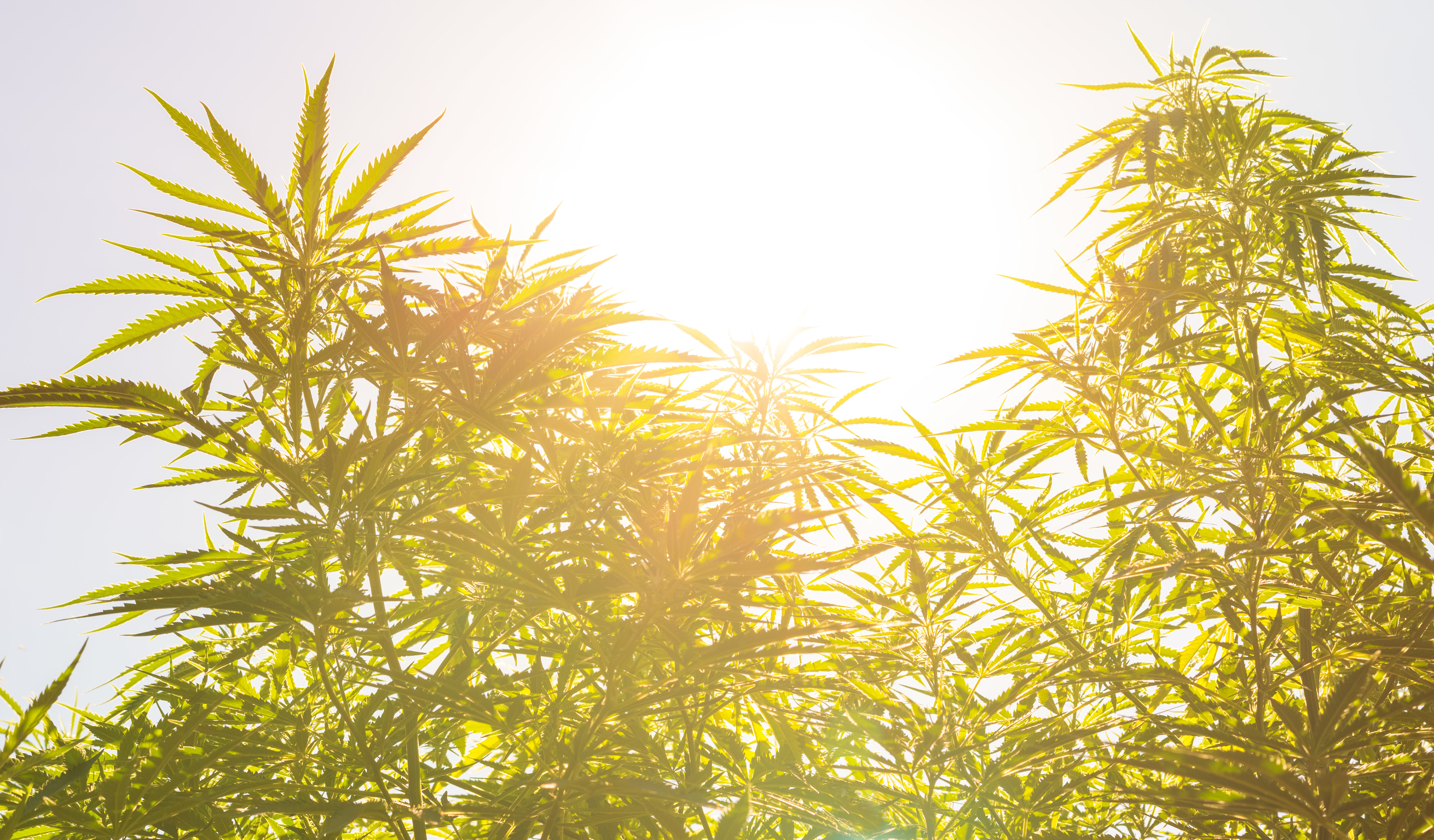 Marijuana (cannabis) plants before harvest time in sunshine